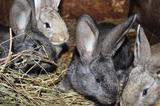Фландр крольчата